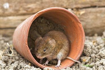 Bank vole (Clethrionomys glareolus), captive, United Kingdom, Europe
