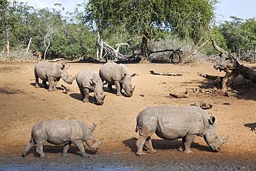 White rhino (Ceratotherium simum), Kumasinga water hole, Mkhuze game reserve, KwaZulu-Natal, South Africa, Africa