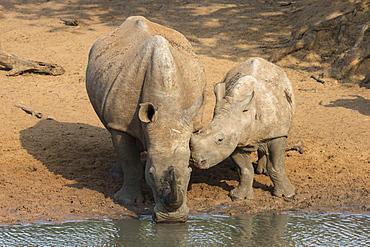White rhino (Ceratotherium simum) with calf, Kumasinga water hole, Mkhuze game reserve, KwaZulu-Natal, South Africa, Africa