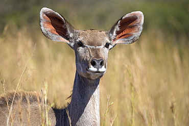 Greater kudu (Tragelaphus strepsiceros) female, Kruger National Park, South Africa, Africa