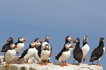 Puffin (Fratercula arctica), Farne Islands, Northumberland, England, United Kingdom, Europe