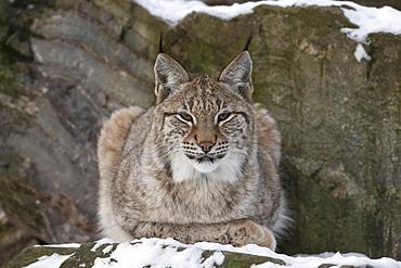 Northern lynx (Lynx lynx lynx), captive, Highland Wildlife Park, Kingussie, Scotland, United Kingdom, Europe