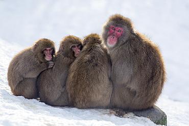 Snow monkeys (Macaca fuscata) huddling together for warmth, Japanese macaque, captive, Highland Wildlife Park, Kingussie, Scotland, United Kingdom, Europe