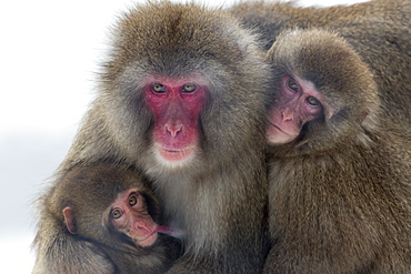 Snow monkey (Macaca fuscata) group with baby cuddling together in the cold, Japanese macaque, captive, Highland Wildlife Park, Kingussie, Scotland, United Kingdom, Europe