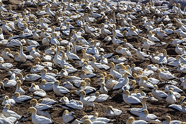 Cape gannet (Morus capensis), breeding colony, Lambert's Bay, South Africa, Africa