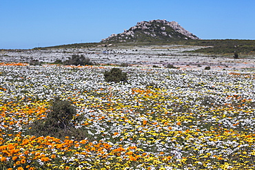 Spring wild flowers, Postberg section, West Coast National Park, Western Cape, South Africa, Africa