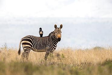 Cape mountain zebra (Equus zebra zebra), with pied crow (Corvus albus), Mountain Zebra National Park, Eastern Cape, South Africa, Africa