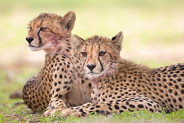 Cheetah cubs (Acinonyx jubatus), Kgalagadi Transfrontier Park, Northern Cape, South Africa, Africa