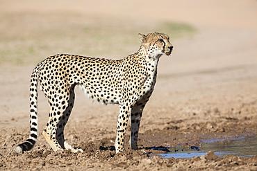 Cheetah (Acinonyx jubatus) at water, Kgalagadi Transfrontier Park, Northern Cape, South Africa, Africa
