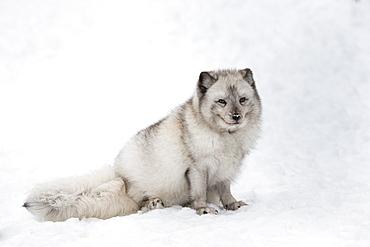 Arctic fox vixen (Vulpes lagopus), captive, Highland Wildlife Park, Kingussie, Scottish Highlands, Scotland, United Kingdom, Europe