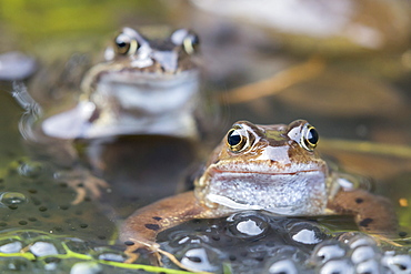 Common frogs (Rana temporaria) in spawning pond, Northumberland, England, United Kingdom, Europe
