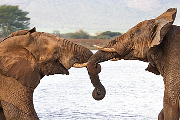 African elephants (Loxodonta africana) wrestling, Zimanga private game reserve, KwaZulu-Natal, South Africa, Africa