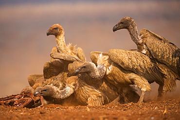 Whitebacked vultures (Gyps africanus) feeding, Zimanga private game reserve, KwaZulu-Natal, South Africa, Africa