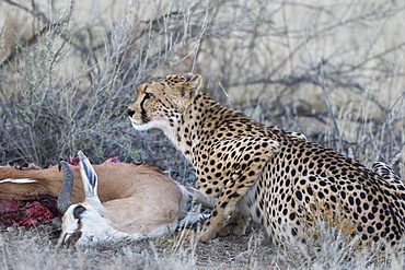 Cheetah (Acinonyx jubatus) on springbok kill, Kgalagadi Transfrontier Park, Northern Cape, South Africa, Africa