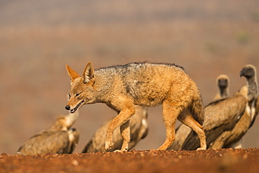 Blackbacked jackal (Canis mesomelas) with whitebacked vultures (Gyps africanus), Zimanga private game reserve, KwaZulu-Natal, South Africa, Africa