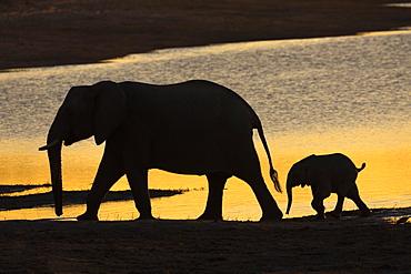African elephant (Loxodonta africana) at sunset, Chobe River, Botswana, Africa