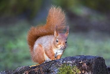 Red squirrel (Sciurus vulgaris), Eskrigg Nature Reserve, Lockerbie, Scotland, United Kingdom, Europe