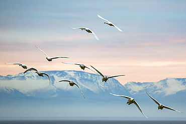 Whooper swans (Cygnus cygnus), flying at sunset, Caerlaverock Wildfowl and Wetland Trust, Dumfries and Galloway, Scotland, United Kingdom, Europe