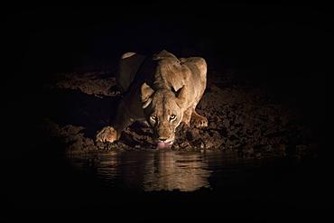 Lioness (Panthera leo) drinking at night, Zimanga Private Game Reserve, KwaZulu-Natal, South Africa, Africa