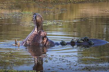 Hippopotamus (Hippopotamus amphibius) with terrapins, Kruger National Park, South Africa, Africa