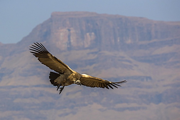 Cape vulture (Gyps coprotheres), Giant's Castle Game Reserve, KwaZulu-Natal, South Africa, Africa