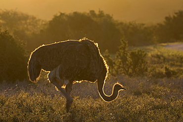 Ostrich (Struthio camelus), Addo National Park, Eastern Cape, South Africa, Africa