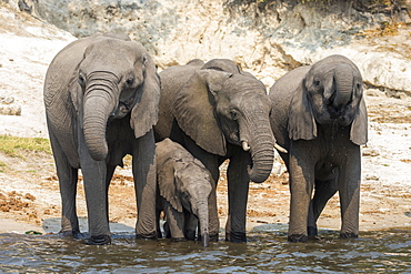 African elephant (Loxodonta africana) drinking at river, Chobe River, Botswana, Africa