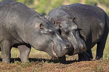Hippos (Hippopotamus amphibius), Chobe National Park, Botswana, Africa