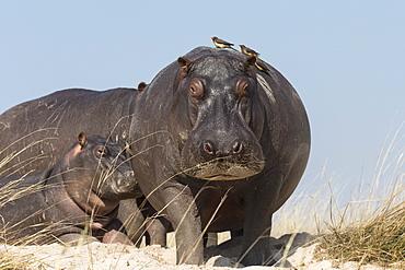 Hippos (Hippopotamus amphibius) with redbilled oxpeckers (Buphagus erythrorhynchus), Chobe National Park, Botswana, Africa