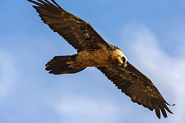 Bearded vulture (Gypaetus barbatus), Giant's Castle Game Reserve, KwaZulu-Natal, South Africa, Africa