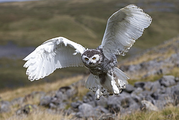 Snowy owl (Bubo scandiacus) juvenile in flight, captive, Cumbria, England, United Kingdom, Europe
