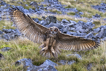 European (Eurasian) eagle owl (Bubo bubo) juvenile in flight, captive, Cumbria, England, United Kingdom, Europe