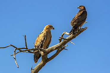 Tawny eagles (Aquila rapax), Kgalagadi Transfrontier Park, South Africa, Africa