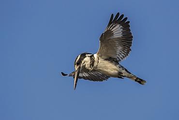 Pied kingfisher (Ceryle rudis) hovering, Chobe National Park, Botswana, Africa