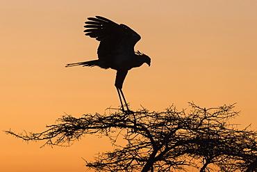 Secretarybird (Sagittarius serpentarius) at roost, Zimanga Private Game Reserve, KwaZulu-Natal, South Africa, Africa