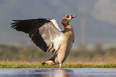 Egyptian goose (Alopochen aegyptiaca), Zimanga Private Game Reserve, KwaZulu-Natal, South Africa, Africa