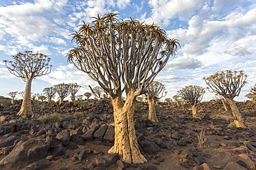 Quiver trees (kokerboom) (Aloidendron dichotomum) (formerly Aloe dichotoma), Quiver Tree Forest, Keetmanshoop, Namibia, Africa