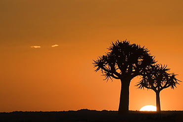 Quiver trees at sunset (kokerboom) (Aloidendron dichotomum) (formerly Aloe dichotoma), Quiver Tree Forest, Keetmanshoop, Namibia, Africa