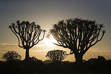 Quiver trees at sunrise (kokerboom) (Aloidendron dichotomum) (formerly Aloe dichotoma), Quiver Tree Forest, Keetmanshoop, Namibia, Africa