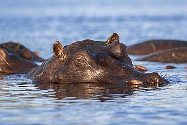 Hippo (Hippopotamus amphibius), Chobe River, Botswana, Africa