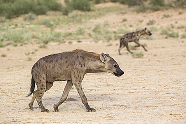 Spotted hyaena (Crocuta crocuta), Kgalagadi Transfrontier Park, Northern Cape, South Africa, Africa