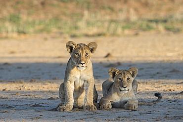 Lion (Panthera leo) cubs, Kgalagadi Transfrontier Park, South Africa, Africa