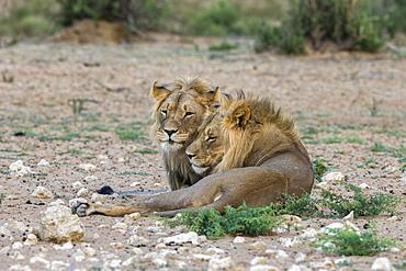 Lion (Panthera leo) brothers, Kgalagadi Transfrontier Park, South Africa, Africa