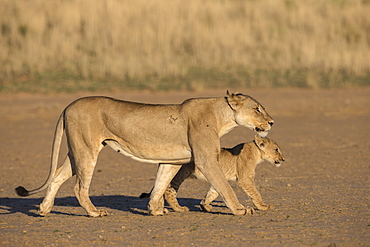 Lioness with cub (Panthera leo), Kgalagadi Transfrontier Park, South Africa, Africa