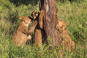 Lion (Panthera leo) cubs chewing bark, Zimanga Private Game Reserve, KwaZulu-Natal, South Africa, Africa
