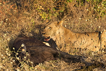 Lioness (Panthera leo) feeding on young Cape buffalo (Syncerus caffer), Chobe National Park, Botswana, Africa