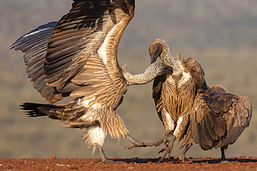 White backed vultures, Gyps africanus, in confrontation, Zimanga private game reserve, KwaZulu-Natal, South Africa