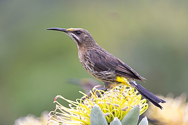 Cape sugarbird, Promerops cafer, on silverleaf wheel-pincushion, Kirstenbosch National Botanical Garden, Cape Town, South Africa