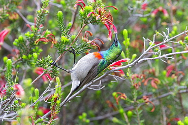 Southern double collared sunbird, Cinnyris chalybeus, feeding, Kirstenbosch National Botanical Garden, Cape Town, South Africa