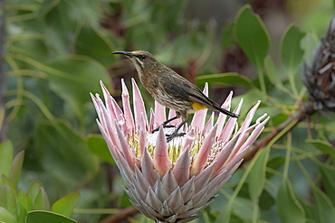 Cape sugarbird, Promerops cafer, on king protea, Kirstenbosch National Botanical Garden, Cape Town, South Africa